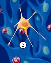 2. Natural-killer cell links to the cancer cell © UC Regents