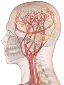Diagram of brain and blood vessels © iStockphoto