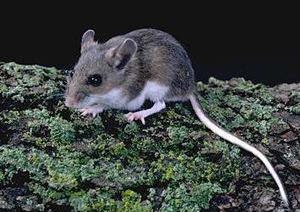 Photo of deer mouse © UC Regents 2012