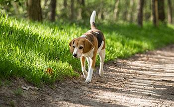 Photo of beagle walking on a trail alone
