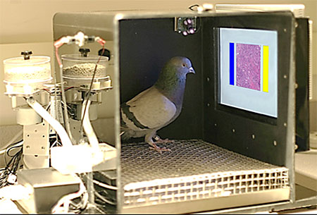 Photograph of Pigeons received training in a chamber that provided food when they correctly identified digitized slides and mammograms with cancer © University of Iowa