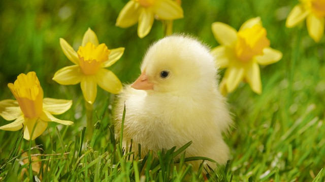 Baby chick and flower