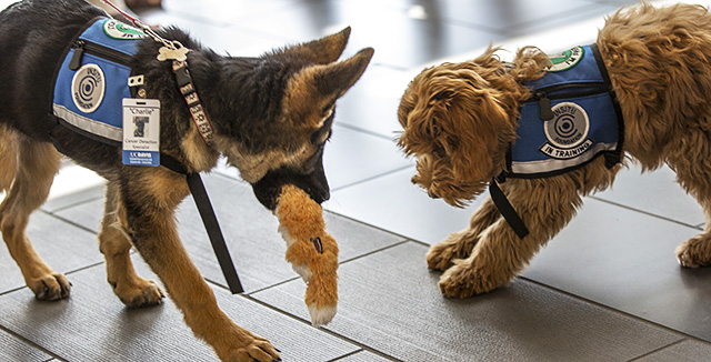 Photograph of puppies Alfie and Charlie, to be trained to sniff out cancer © UC Regents
