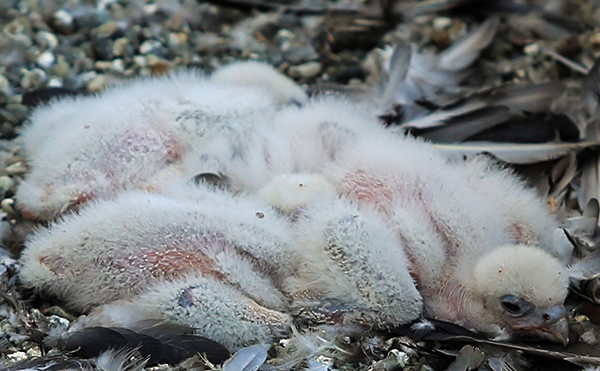 Four peregrine chicks huddled together in their nest