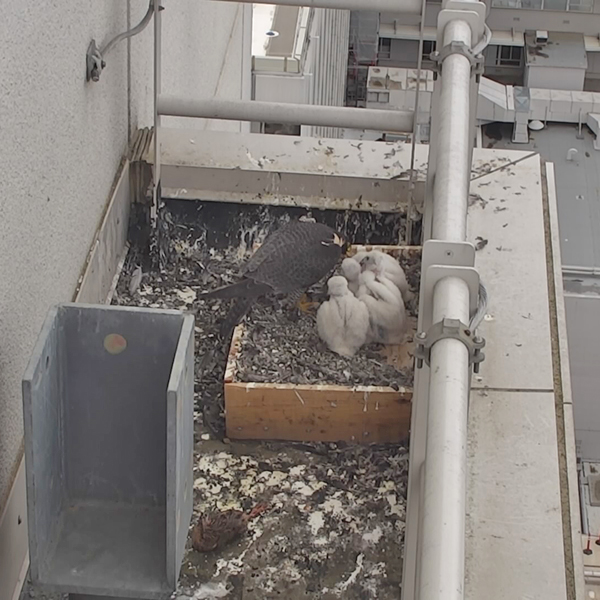 Four peregrine chicks huddled together in their nest being fed by their mom