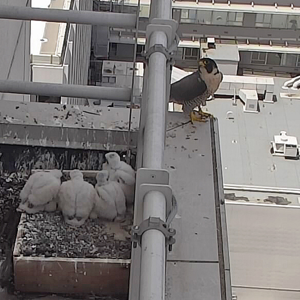 Four peregrine chicks, now bigger, in their nest with their mom standing next to them
