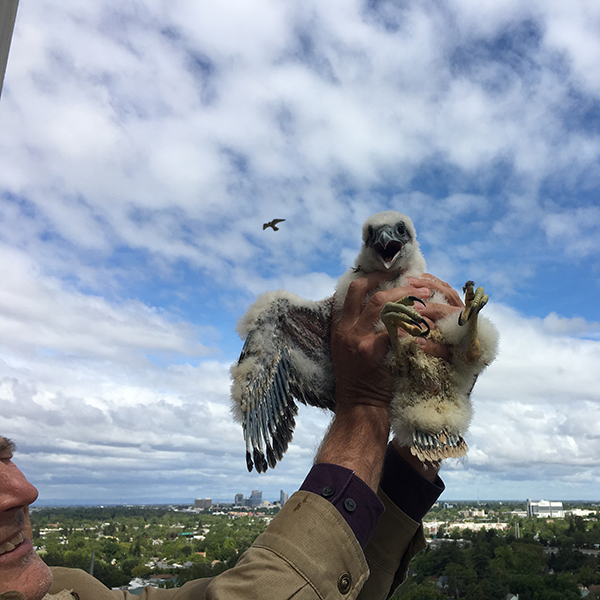 A peregrine chick being returned to it's nest after a health check-up