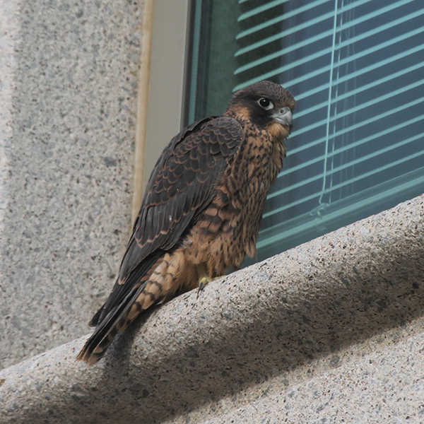 Young peregrine falcon resting on a window ledge